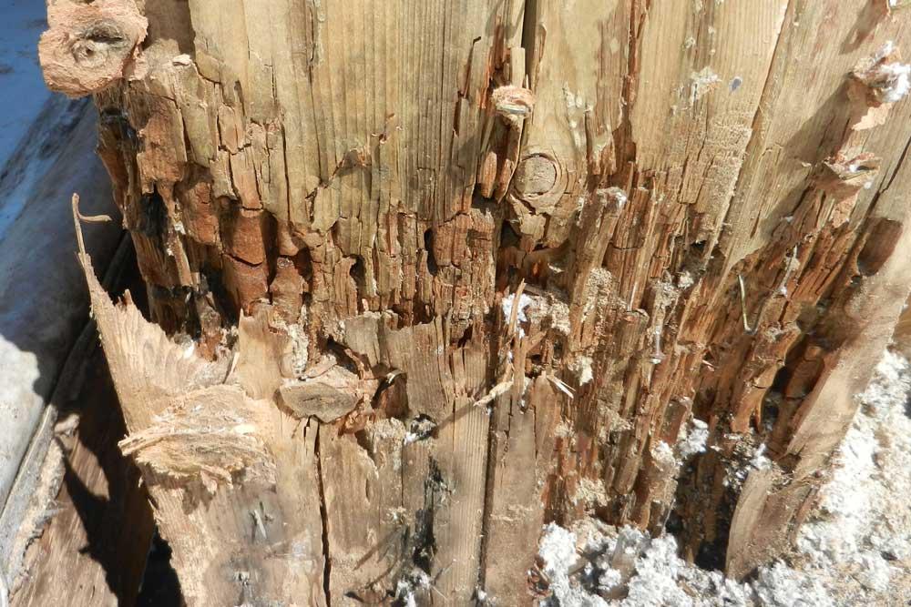 Holzpilz und Ameisenbefall